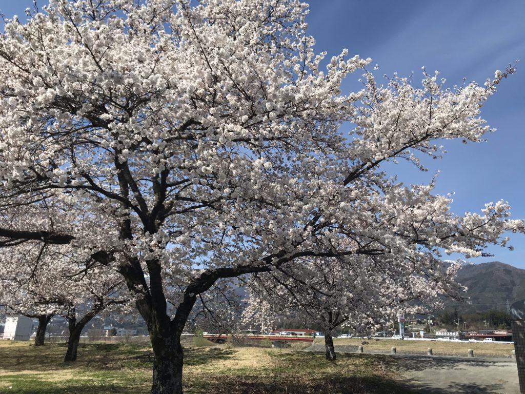 伊那市の桜